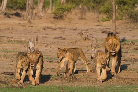 Pride of Lions on the move